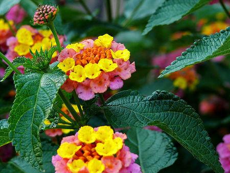 797px-Yellow_and_Pink_Lantana.jpg