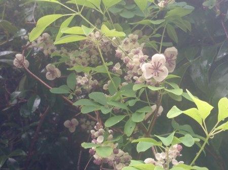 アケビの花.jpeg
