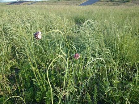 野蒜の花1.jpg