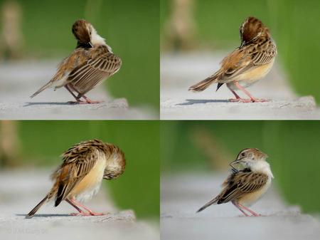 Zitting_Cisticola_(Breeding_plumage)-_preening_Ic-_Kolkata (1).jpg